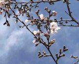 鎌倉の桜も咲き始めました🌸